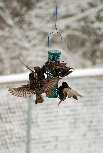starlings on feeder